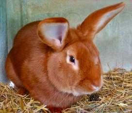 Vendo Conejos Leonados de Borgoña puros. Mendoza