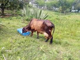 Vendo vacas   girolandas prosimas aparir
