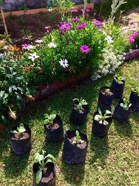 Vendo 10 plantines de flor Margarita del Cabo