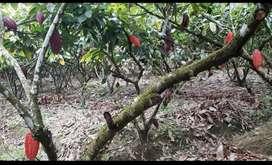 Se vende 4 hectareas de cacao 1 de banano y arboles frutales
