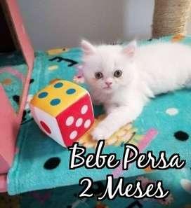 Gatito Persa de 2 Meses