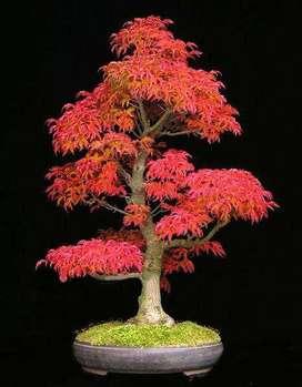 Arce Rojo Japonés En Bonsai, árbol O Semillas