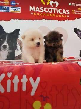Espectaculares caninos pomerania lulú reminis