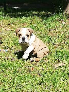 Bulldog ingles sin pedigree arequipa