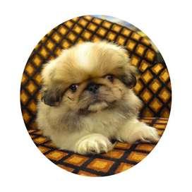 Cachorros Pequines Chino Criadero Canino