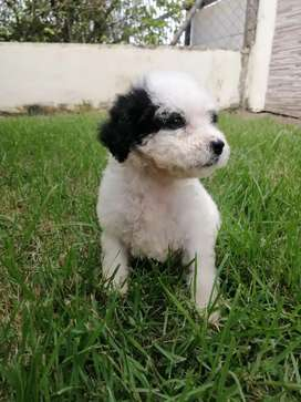 Hermosos perros french poodle