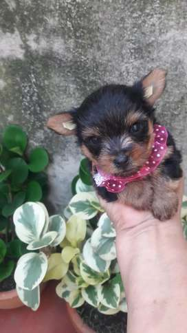 Hermosos yorkshire terrier minis