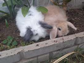 Vendo conejitos para mascotas 3mil los dos