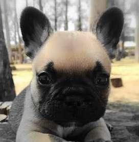 Bulldog Francés lo vendo es demasiado Hiper activo tengo lugar demasiado chico y merece un patio vacunas al día LIBRETA