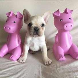 hermosos perros bulldog frances, de 55 dias entrega inmediata