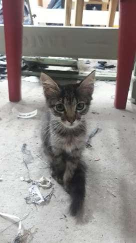Gatito en Adopcion Macho...dos Mesesitos