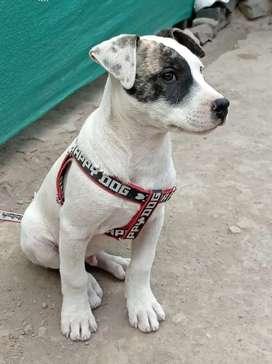 Vendo perro cruce pitbull con cruce bullterrier