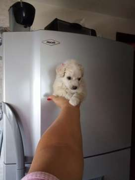 Hermosa french poodle hembra mini toy