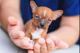 Lindos perritos Chihuahua miniatura raza garantizada
