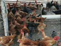 Se vende pollos criollos