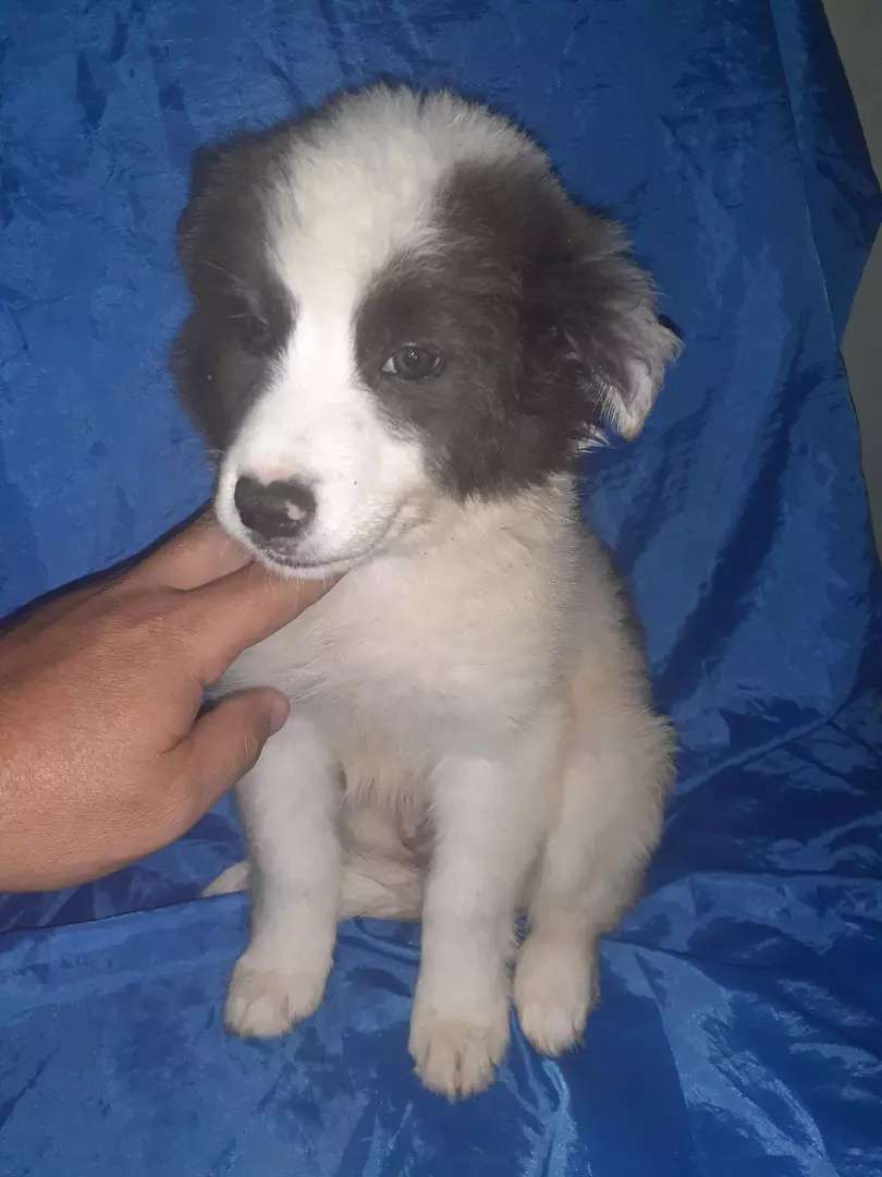 Macho cachorro  inteligente  border blue