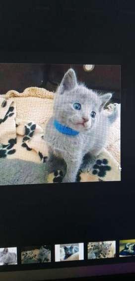 Gato Ruso Azul. Bigotudos S.a.s