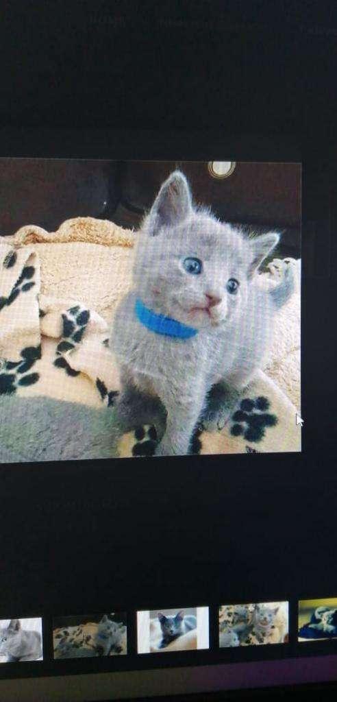 Gato Ruso Azul. Bigotudos S.a.s 0