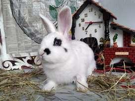 Conejos enanos Bogotá