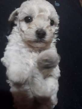 Vendo French poodle mini toy