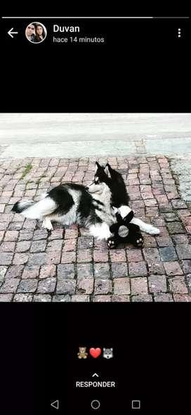 Husky malamut