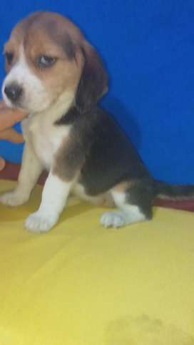 Maravilloso Beagle Ss Super Original