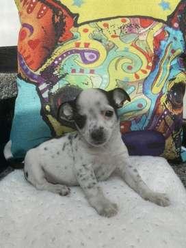 Chihuahua macho bogota
