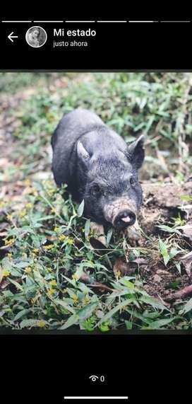 Mini pig una hembra y dos machos