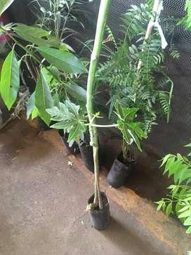 planta papaya