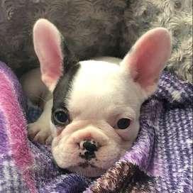 Vaquita bulldog frances, 8 semanas de edad