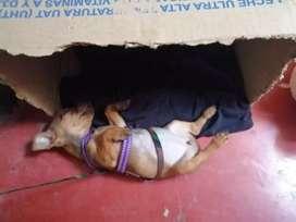 vendo linda perra pincher tiene la cola cortada y sus dos vacunas