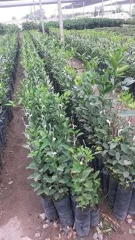 Plantas Frutales Injertos Trujillo