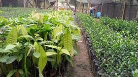 Plantas de cacao ccn51 injertado