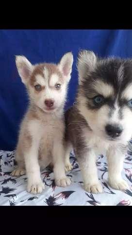 Poderosos huskys siberianos a la venta