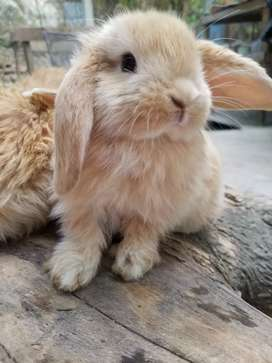 French lop belier