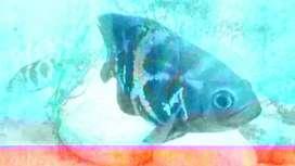 Pez Oscar 18cm y pez camuflado 11cm ambos por 20$
