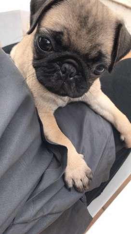 Cachorra de raza Pug 100%