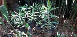 Kalanchoe Daigremontiana 40 cms aproximadamente suculenta ornamental y comestible.