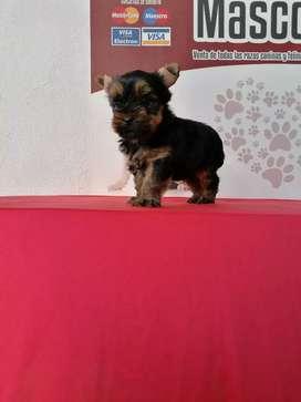 Mimada hembra yorkshire terrier de 60 días