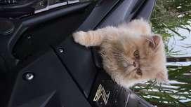 Gato macho, Persa extremo.