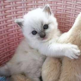 Vengo gatos ragdoll blue