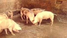 Cerdos en venta