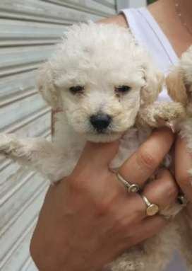 Poodle toy poodel cachorros blanco y champan