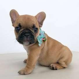 la mejor compañia, cachorros bulldog frances de 54 dias