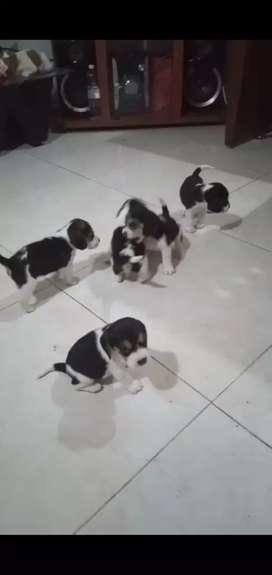 Beagles enanitos originales certificados