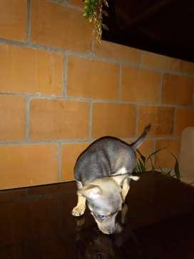 Cachorro Pincher chihuahua de 1 mes ya está  desparacitado