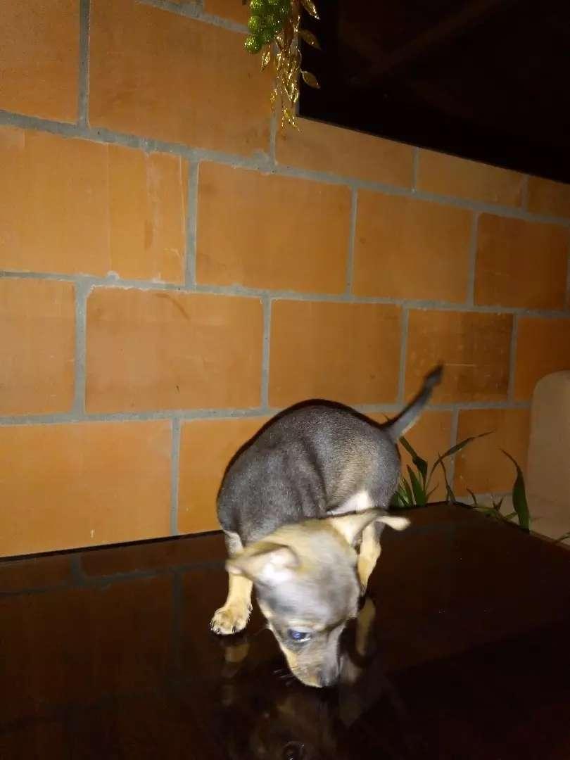 Cachorro Pincher chihuahua de 1 mes ya está  desparacitado 0