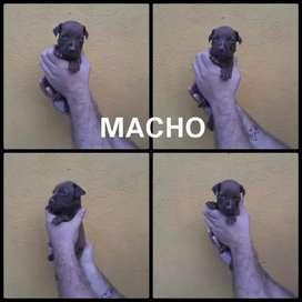 Hermosos pitbull