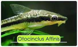 Otocinclo Afinis X 10 Peces