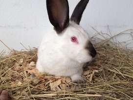 Conejos rusos en Bogota